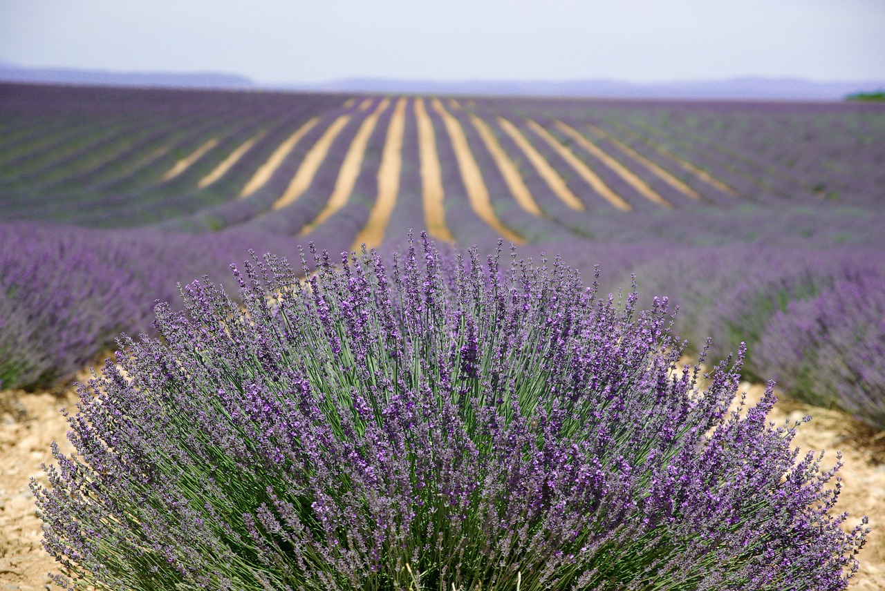 lavender a natural remediy