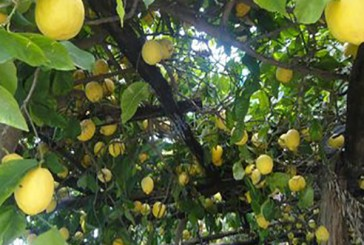 LEMON TOURS!