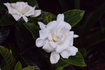 AUGUST GARDENIAS IN SEPTEMBER