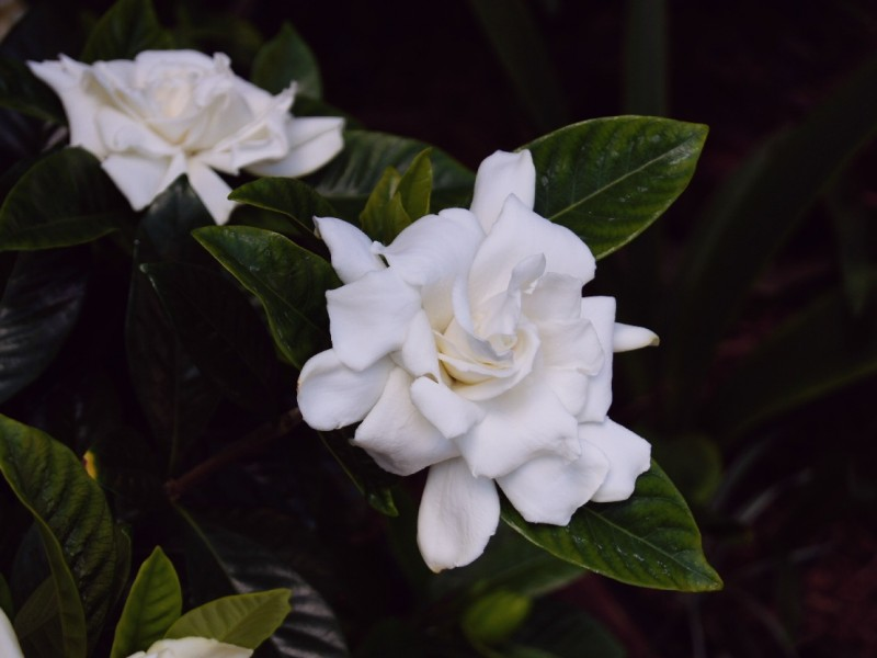 august gardenias in september beauty for senior citizens and babyboomers indoors!